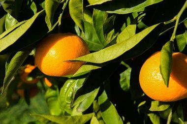 Шифокор кимларга мандарин ейиш зарарлигини айтди